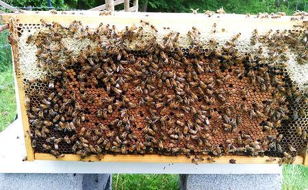 healthy bee colony