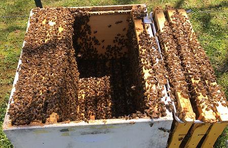 healthy bees in honeycomb
