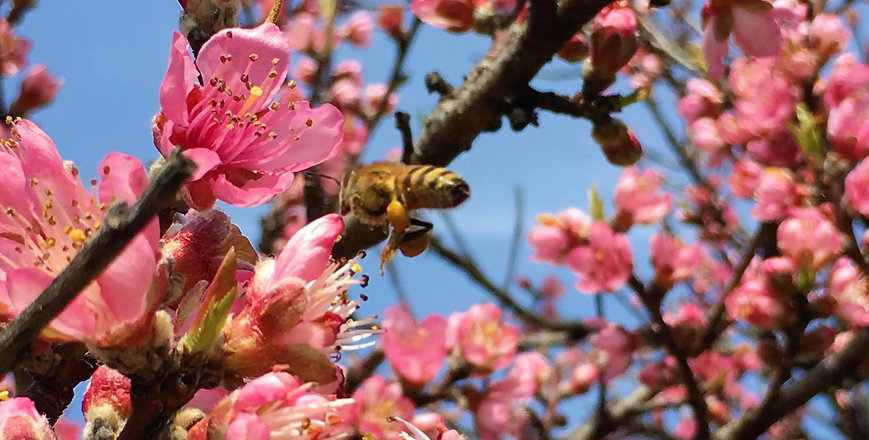 Bees in cherry blossom at East Tennessee organic farm