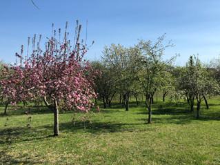 Heirloom fruit trees in bloom