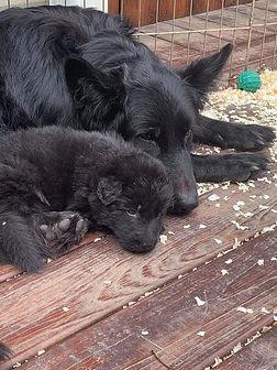 puppies 4 weeks.jpg