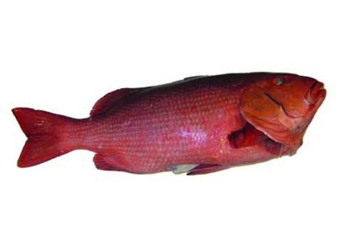 red snapper-01.jpg