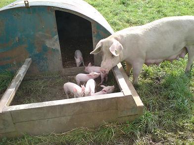 Pigs DSC00018.JPG