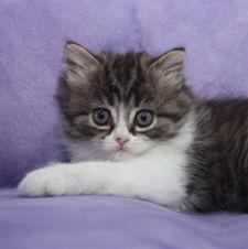 ragamuffins kittens Arya