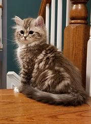 brown tabby ragamuffin kitten
