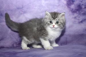 ragamuffin kittens personality
