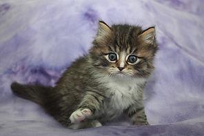 ragamuffin kittens for sale Raggs