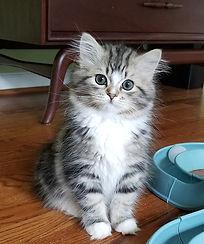 brown tabby raamuffin kitten