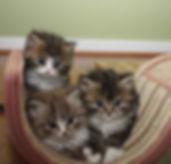 ragamuffin kittens tabbies