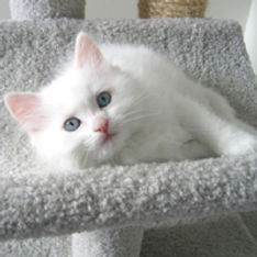 ragamuffin kitten white