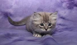 ragamuffin kittens blue sepia