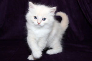 ragamuffin kittens cream