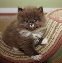 sable ragamuffin kitten with white nose