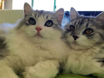 ragamuffins kittens buddies