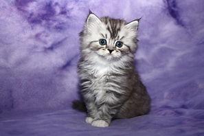 adopt a ragamuffin kitten