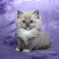 blue mink ragamuffin kittens
