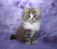 ragamuffin kittens Pepper