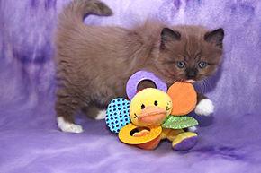 ragamuffin kittens brown