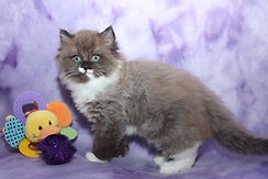 ragamuffin kittens for sale Devanie