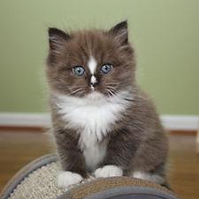 sable ragamuffin kittens