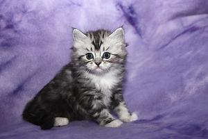 cute ragamuffin tabby kittens