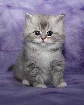 ragamuffin kitten blue sepia tabby