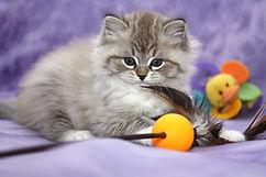 sweet face ragamuffin kittens