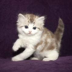 ragamuffin kittens Ganache
