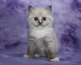 ragamuffin kitten breeder