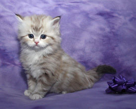 ragamuffin kittens sable classic
