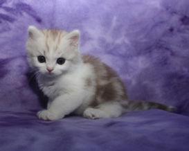 ragamuffin kittens kissable