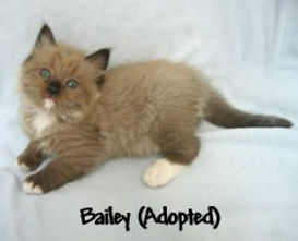 Bailey ragamuffin kitten
