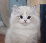 gorgeous ragamuffin kitten
