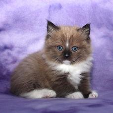 ragamuffin kittens brown mink