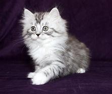 ragamuffin sweet kittens