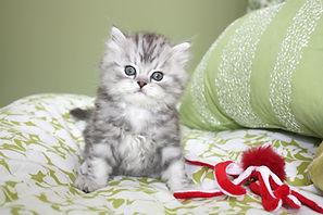 Perseus ragamuffin kittens