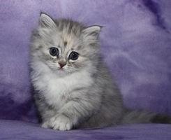 silver tortie ragamuffin kitten
