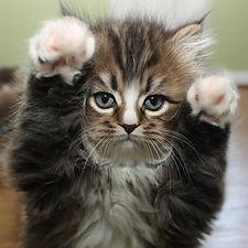 ragamuffin kittens Milo cute