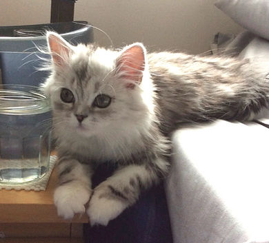 RgaMuffin kitten silver classic