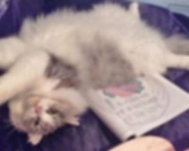 rescue ragamuffin cat