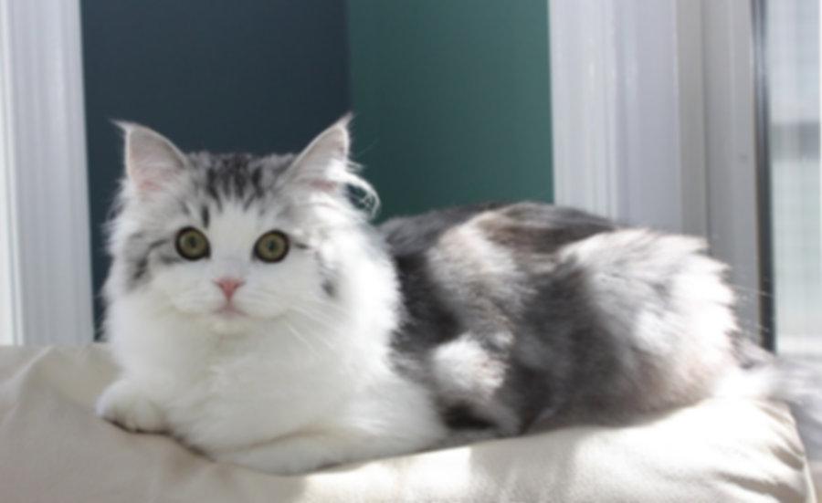 ragamuffin kitten silver tabby