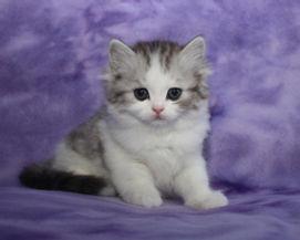 ragamuffin kittens Nala