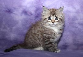ragamuffin kittens Willow