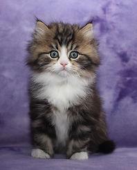 ragamuffin kittens Mr GQ