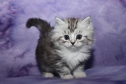 silver ragamuffin kittens
