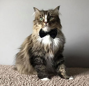ragamuffin cats bow tie