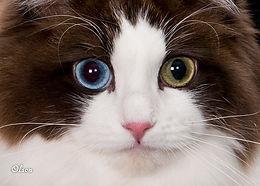 Odd-eyed RagaMuffin cat