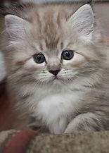 ragamuffin kitten natural mink tabby