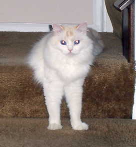 pointed ragamuffin cat