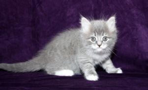 ragamuffin kittens blue